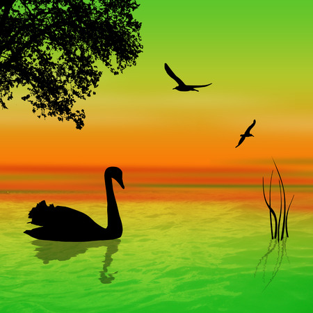 swan lake: Swan on the lake in beautiful landscape sunset