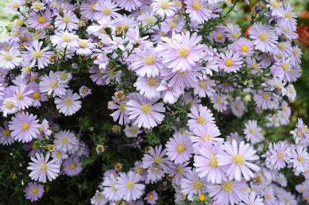 lila: Beautiful bouquet from many autumn lila chrysanthemum Stock Photo
