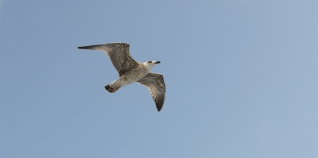 wingspread: Seagull flying in the blue sky