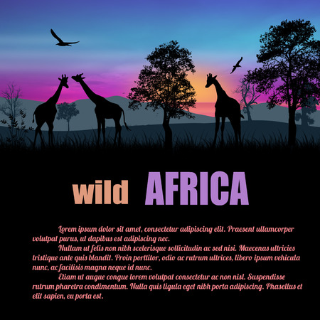 africa sunset: Wild Africa poster. Giraffes silhouettes on sunset with space for your text, vector illustration