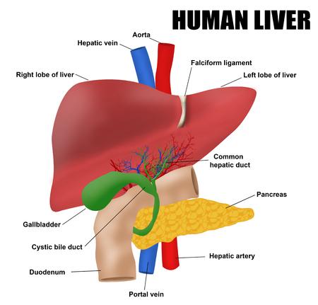 解剖学人間の肝臓では、ベクトル (診療所・学校の基本的な医療教育) のイラスト