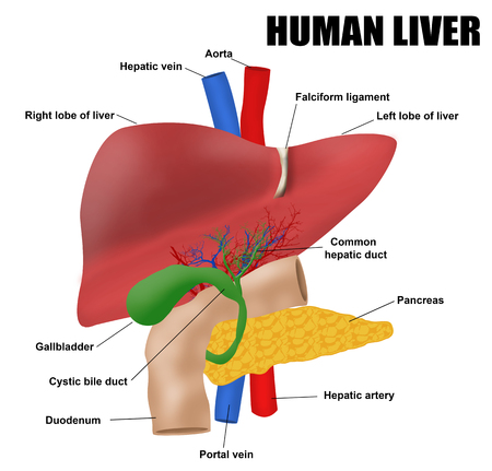 hepatic portal vein: Anatomyof the human liver, vector illustration (for basic medical education, for clinics & Schools) Illustration