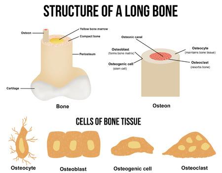 huesos: Estructura de un hueso largo y células de tejido óseo (útiles para la educación en las escuelas y clínicas) - ilustración vectorial