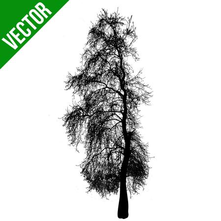 beech: Dead tree silhouette on white background, vector illustration Illustration