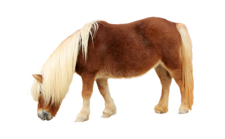 Palomino Shetland pony on white background