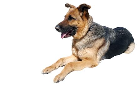 Portrait of german sheperd on white background