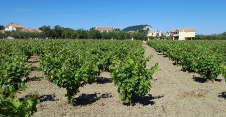 mediteranean: Vineyard plantation of grape bearing vines for wine making. Zakynthos island, Greece