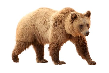 Brown bear on white background Stock Photo