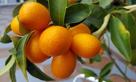 Kumquat fruits on the tree