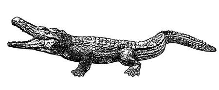 Crocodile silhouette on white background, vector illustration
