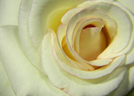 A above view of a close up of a white rose with a white background