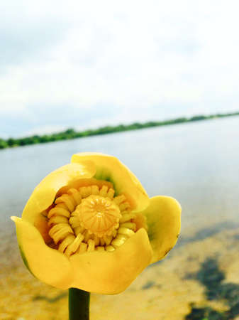 the yellow lily blooms in the river in summer
