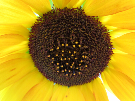 beatuful: the yellow sunflower bloom in the garden in summer