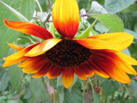 the yellow sunflower bloom in the garden in summer