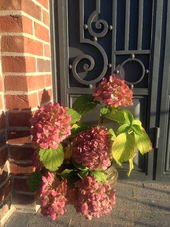 blooms: orange hydrangea blooms near the ancient fortress Stock Photo