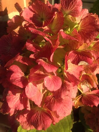 blooms: the beautiful orange hydrangea blooms in autumn Stock Photo