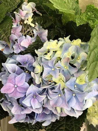 curare teneramente: the beautiful violet hydrangea blossomed for joy