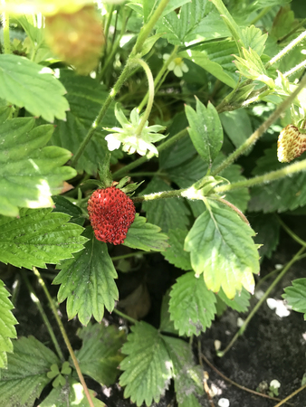 the red berry strawberries in the garden