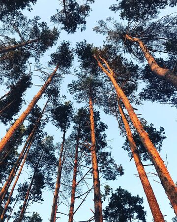 The tops of pines in the rays of the sunset in the forest in summer