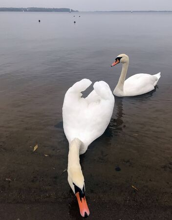 swampy: swans on the lake in the autumn cloudy day