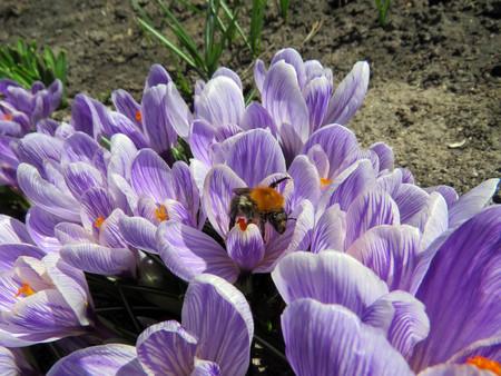 Bumblebee on flowering crocuses in the spring garden