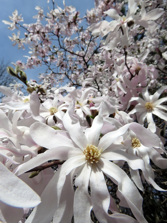 Blooming magnolia in the spring garden on a sunny day