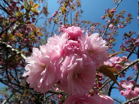 Flowering sakura blossom in a spring garden on a sunny day