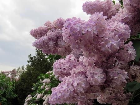 beautiful lilac flowers in the spring day