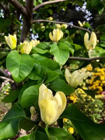 Yellow Magnolia in Spring Garden in the spring day