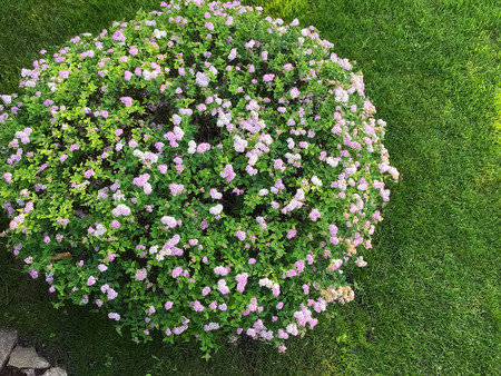 round blossoming bush in a garden in the summer
