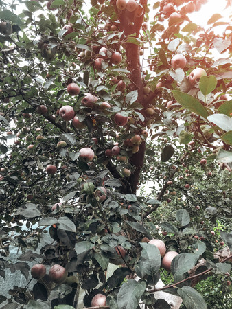 Apples ripen on the tree in summer. Organic Food. Style Top View Group Objects Stock Photo