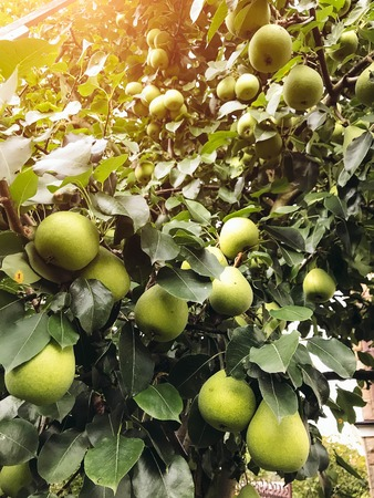Pears ripen on the tree in summer. Organic Food. Style Top View Group Objects