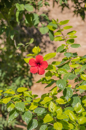 Hibiscus flower, China rose, Chinese hibiscus, Hawaiian hibiscus, shoe flower Hibiscus rosa sinensis in the garden