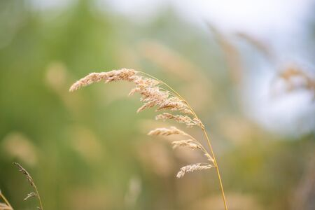 This plant is Pampas grass. Scientific name is Cortaderia selloana. Soft Focus. Abstract Nature Background