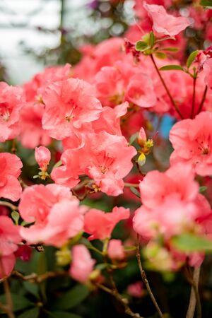 Beautiful vibrant azalea flower tree blooming in the botanical garden, in Kyiv Banco de Imagens