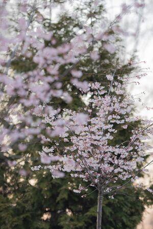 Sakura or cherry blossom flower full bloom in spring season Banco de Imagens