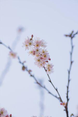 Sakura or cherry blossom flower full bloom