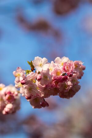 sakura. cherry blossom in springtime, beautiful pink flowers Banco de Imagens - 144176769
