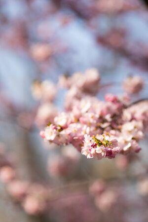 sakura. cherry blossom in springtime, beautiful pink flowers Banco de Imagens - 144177572