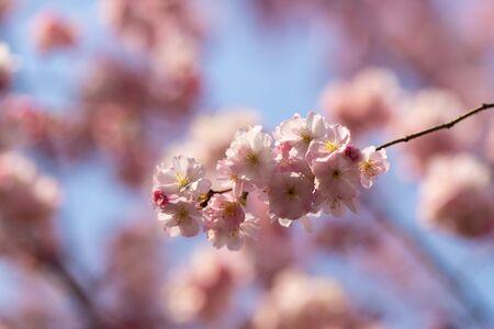 sakura. cherry blossom in springtime, beautiful pink flowers Banco de Imagens - 144188647