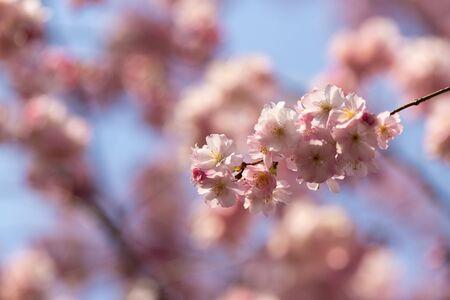 sakura. cherry blossom in springtime, beautiful pink flowers Banco de Imagens - 144970651