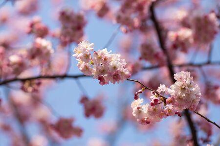 sakura. cherry blossom in springtime, beautiful pink flowers Banco de Imagens - 144970653
