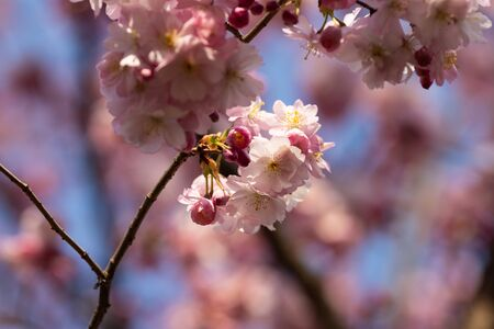 sakura. cherry blossom in springtime, beautiful pink flowers Banco de Imagens - 144970660