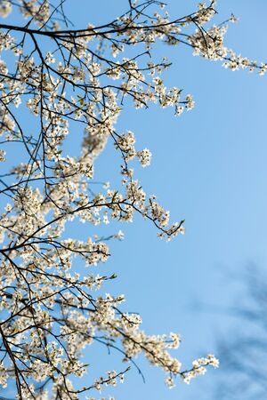 fresh bright spring branches of a pear tree, pear tree blooming against the blue spring sky
