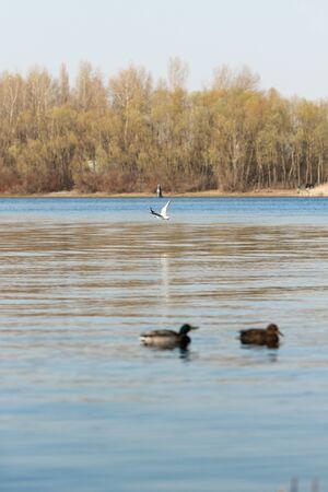 Duck on water scene. Duck water. Duck swim. Ducks swimming water