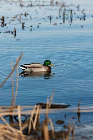 Duck on water scene. Duck water. Duck swim. Ducks swimming water Banco de Imagens - 147354334