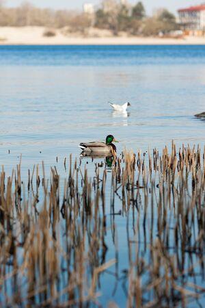 Duck on water scene. Duck water. Duck swim. Ducks swimming water Banco de Imagens - 147352052