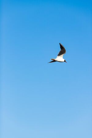 Sea gull flies over the river