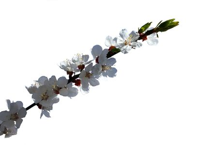 Branch of the apricot tree with white flowers, isolated on the white background photo