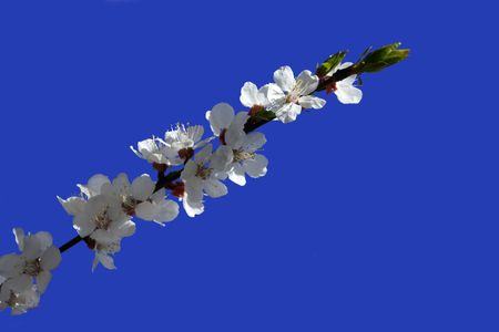Branch of the apricot tree with white flowers, isolated on the blue background photo